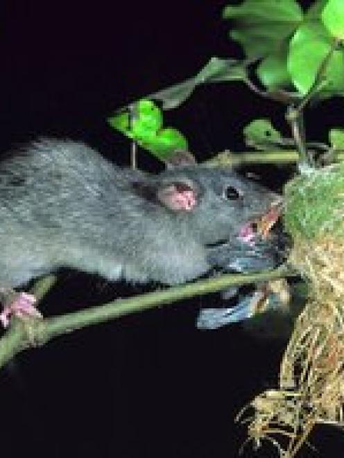 Rat numbers are expected to skyrocket this year. Photo NZ Herald