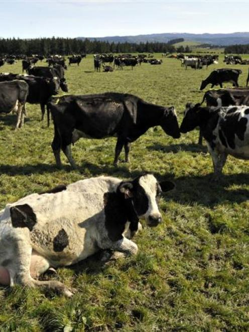 Regional economies in New Zealand earned about $14.3 billion from dairy farms in 2013-14. Photo...