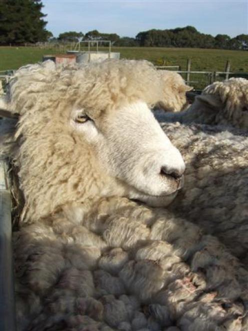 Romney ewes are still robust lamb producers. Photo by Sally Rae.