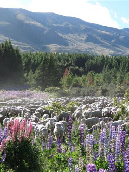 Russell lupins are increasingly being seen as a food source for sheep in the high country. Photo...