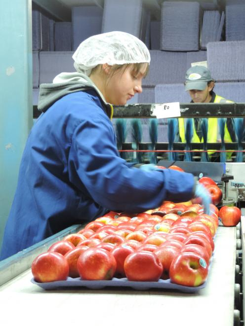 Sarah Renwick, from Inverness, Scotland, works in the apple-packing facility at Waipopo Orchards,...
