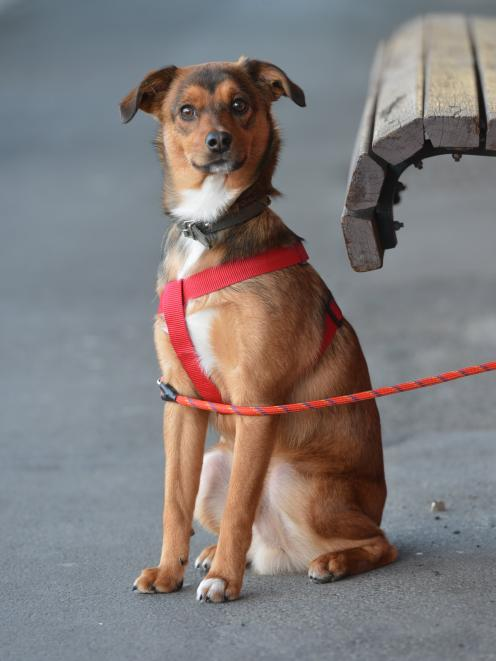 Scooby, the terrier-cross who alerted his family to a fire that swept through their home. Photo...