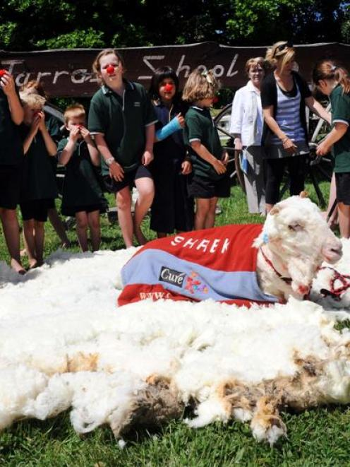 Shrek rests among his 8kg fleece after being shorn at the Tarras School yesterday. Photo by...