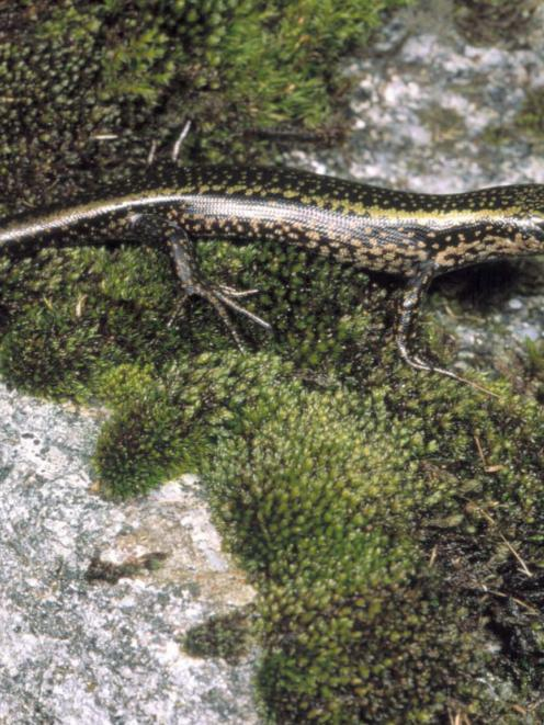 Sinbad Gully, the home of the Sinbad skink (above), will become a sanctuary for native species...