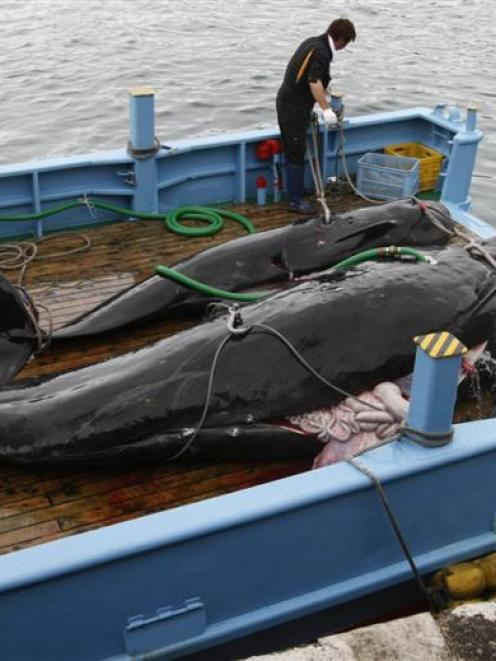Slaughtered short-finned pilot whales on the deck of a whaling boat at Taiji, Japan. Photo by...