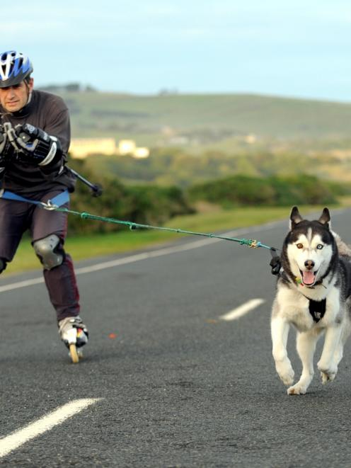 Sled dog Kazak tows  cross-country skier Larry Nichvolodov along John Wilson Ocean Dr. Ski Dogs...