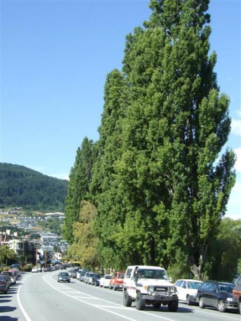 Some of the Lombardy poplars along Lake Esplanade which an arborist has recommended the council...