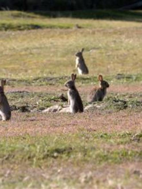 Some parts of the Mackenzie Country are no longer considered rabbit-prone, but farmers in other...