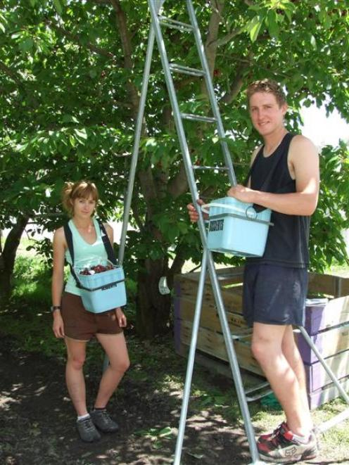 Spending their summer holidays picking cherries to earn money for their studies are Monica King...