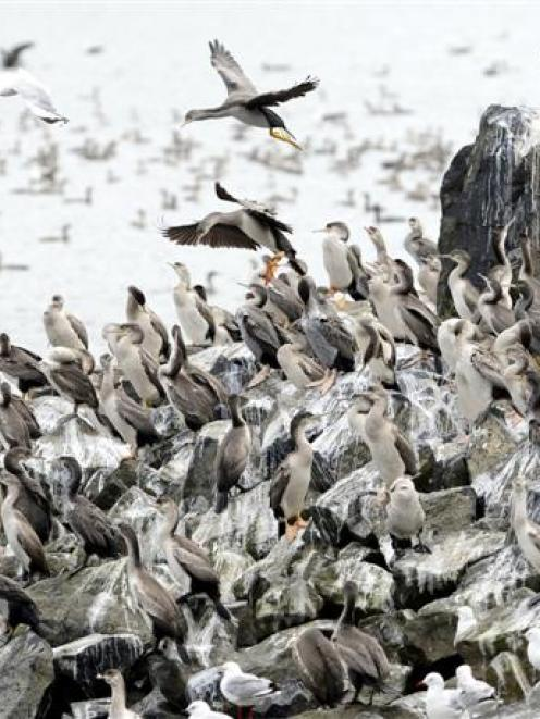 Spotted shags and a few red-billed gulls roost in the Andersons Bay inlet this month. Photo by...