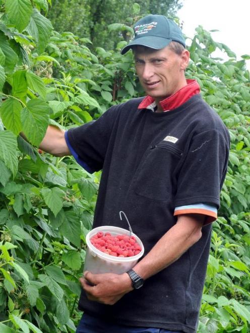 Steve McArthur picks raspberries at his Outram farm during last year's berry fruit season.