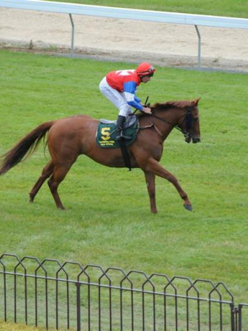 Straitothepoolroom, a chance for trainer Steven Prince in race 2 at Timaru today. Photo by Tayler...