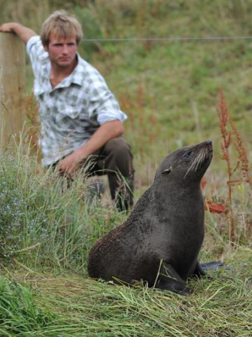 Taieri farmer Matt Kerr with the roaming fur seal. Photo by Peter McIntosh.