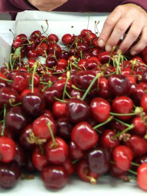 Taiwan has lifted its tariff on New Zealand cherries. Photo from ODT files.