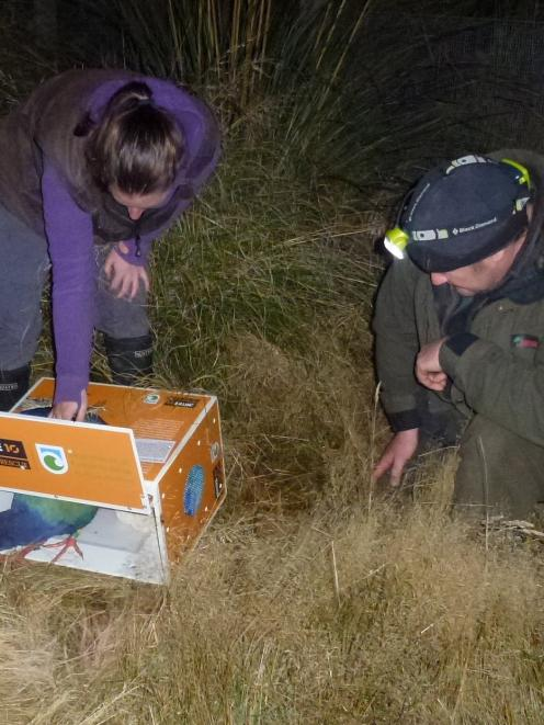 Takahe Paku steps into her new home last night, while ecosanctuary ranger Kelly Gough (left) and...