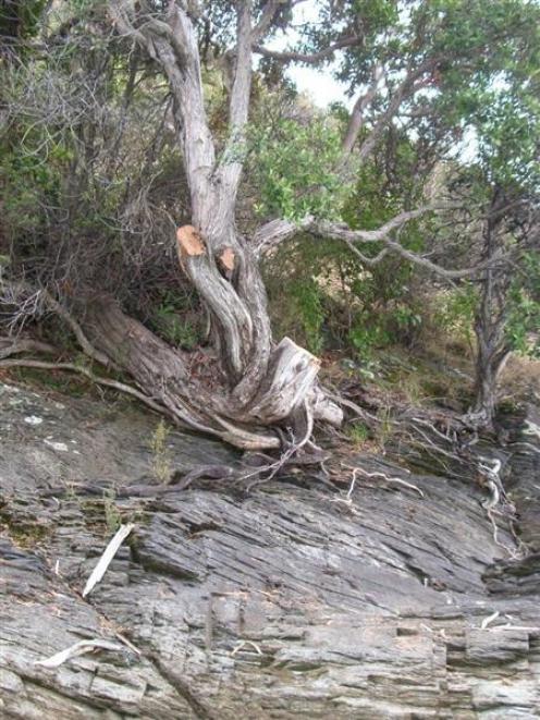 The damaged rata tree on Pigeon Island, Lake Wakatipu.Pigeon Island is a protected sanctuary for...