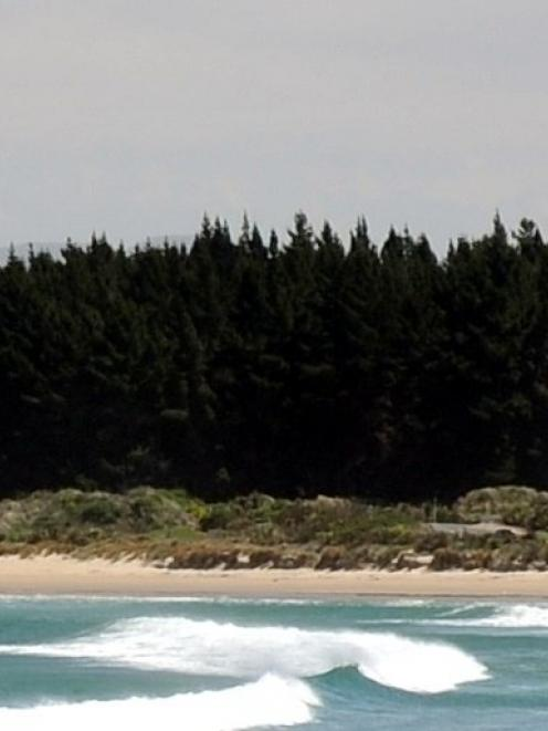 The DCC will talk with the community board about the pines at Waikouaiti Beach. Photo by Craig...