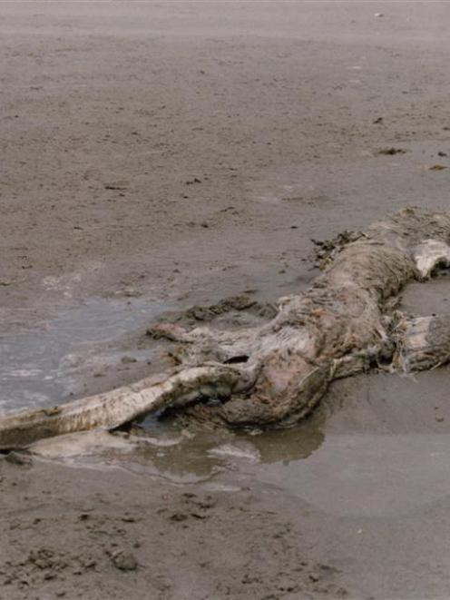 The  decaying sea creature found on a North Canterbury beach more than three decades ago. Photo...