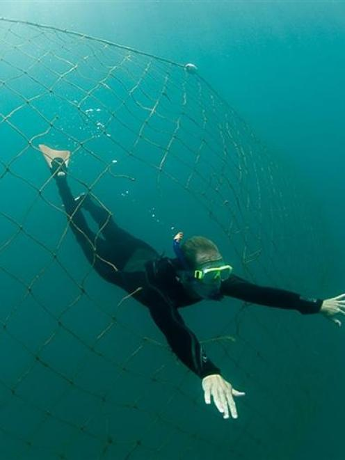 The Dunedin City Council is the only local authority in New Zealand to maintain shark nets, and...