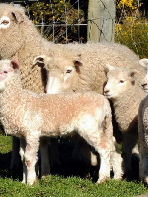 The 'extremely rare' offspring of a goat and a sheep stands with its mother and some mates in a...