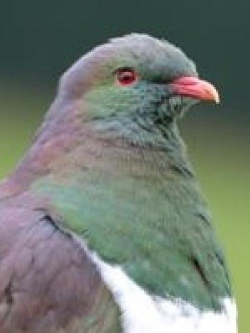 The kereru has been protected for over a century. Photo by Stephen Jaquiery