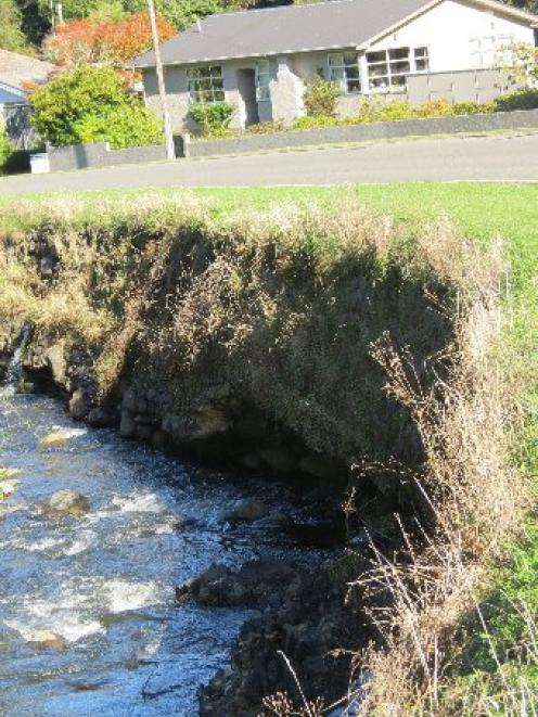 The Leith River has undermined a section of its bank. Photo by Jonathan Chilton-Towle.