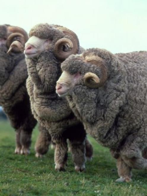 The merino industry is looking to a bright future. Photo by The New Zealand Merino Company.