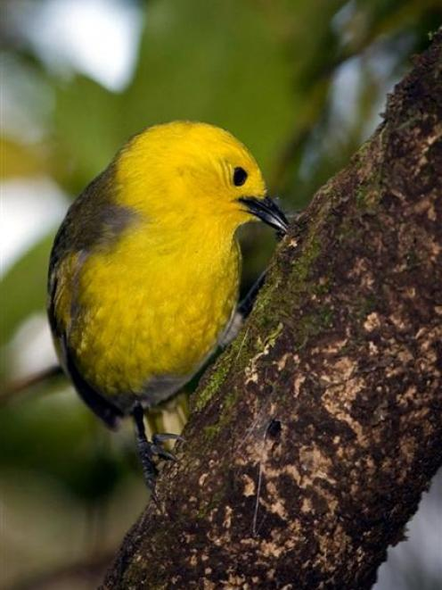 The Mohua population in the Catlins is  expected to increase following last year's 1080 aerial...