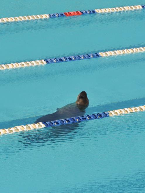 The sea lion in the St Clair Salt Water Pool. Photo by Gregor Richardson
