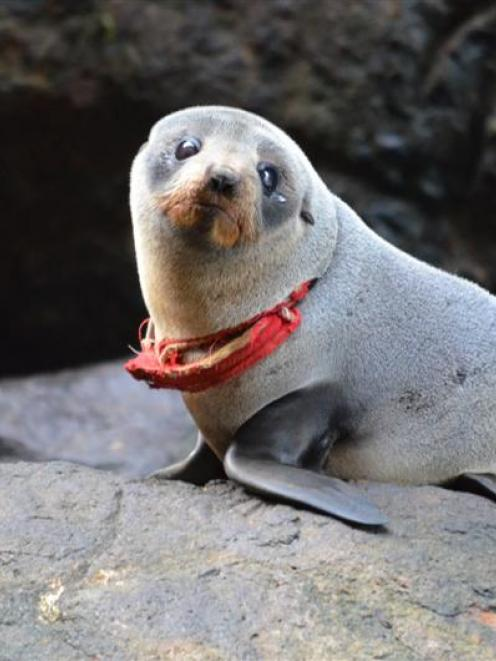 The seal  spotted on Otago Peninsula on Friday with a G-string around its neck. It was helped by...