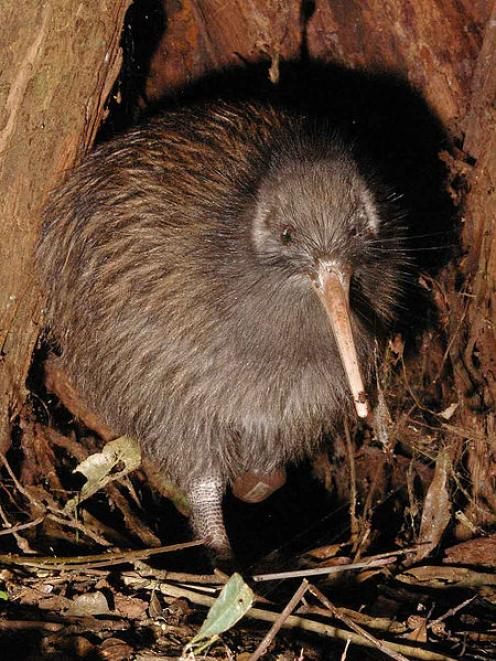 The study shows the kiwi is related to the elephant bird.