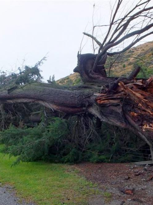 The tree that fell on to State Highway 6 at Frankton yesterday morning. Photo by Olivia Caldwell.