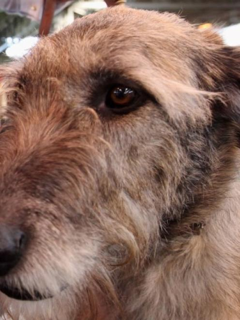 The woman was attacked by up to three Irish wolfhounds. Photo Getty