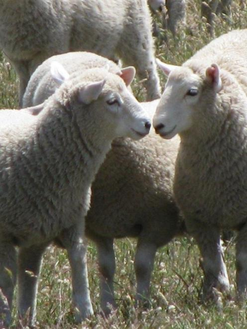 There is concern over commodity prices;  pictured, Perendale lambs in December. Photo by Newhaven...