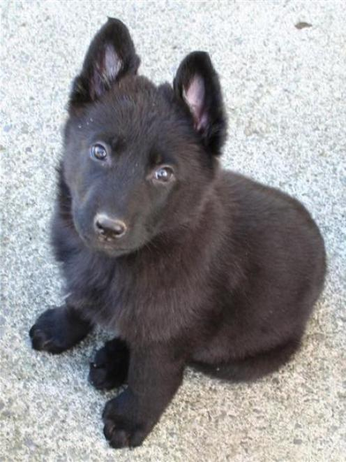 This 8-week-old  police puppy is generating plenty of name suggestions on the Dunedin police...