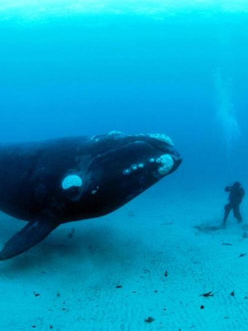 This photograph of a curious southern right whale, taken by American photographer Brian Skerry...