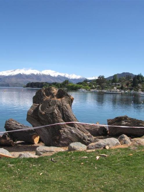 This was all that remained of a large willow tree on the  Wanaka  lakefront yesterday after it...