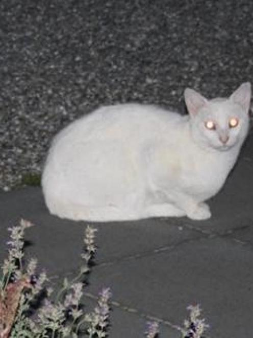 This white cat, holidaying in Clyde, is responsible for a spate of clothing thefts in the town, ...