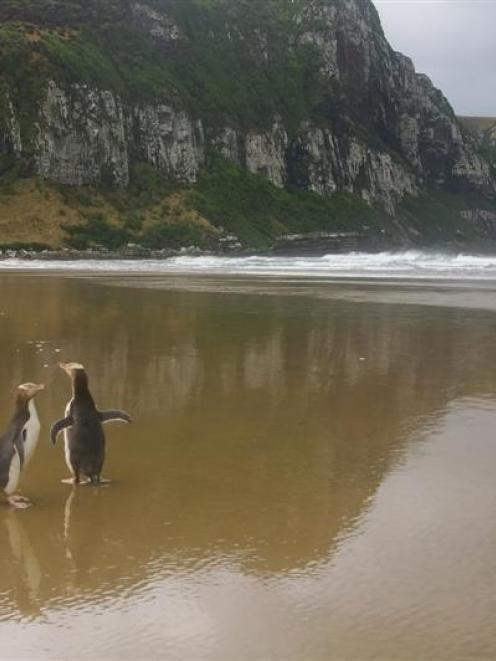 Three healthy,  microchipped yellow-eyed penguins  return to the wild at their home in Purakaunui...