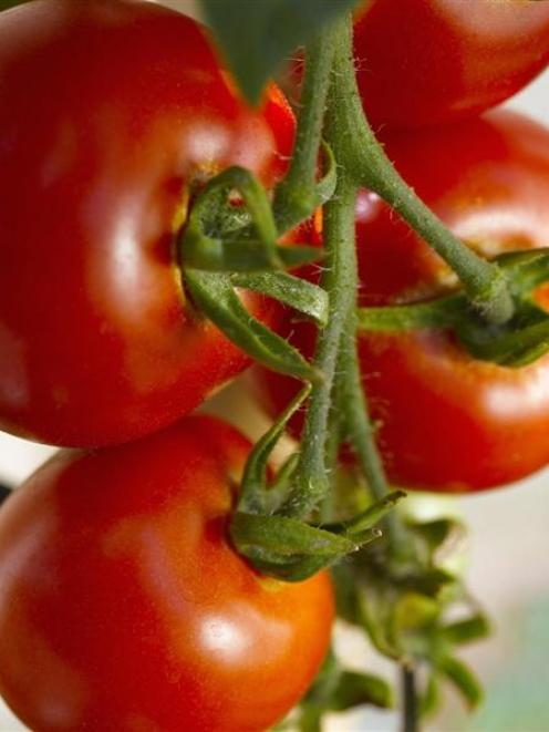 tomato_tops_for_kiwi_consumers_4d4617316f.jpg