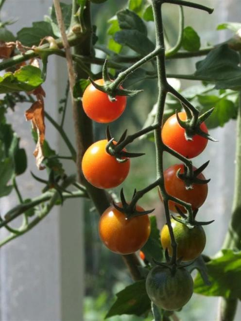 Tomatoes Can Now Be Planted In Unheated Greenhouses Photo By Gillian Vine