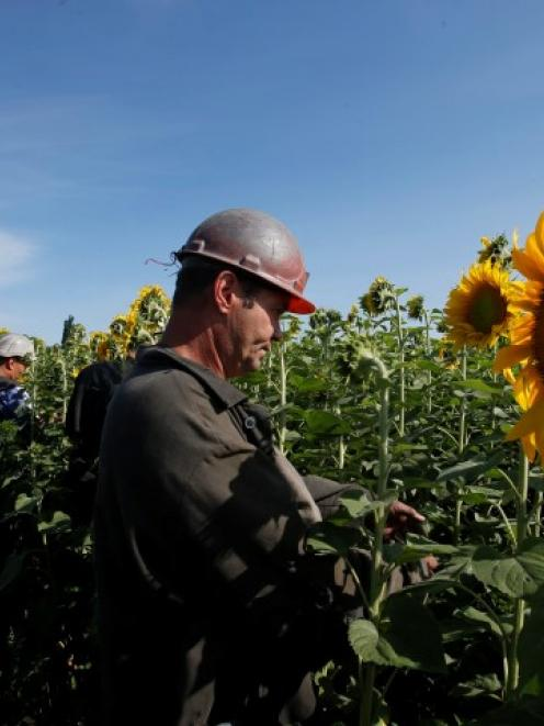 Ukrainian coal miners search the crash site of Malaysia Airlines Flight MH17, near the village of...
