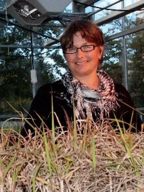 University of Otago Botany Department senior lecturer Dr Janice Lord inspects some of the grass...