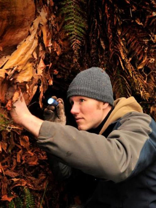 University of Otago masters student Dan Barrett on the hunt for a peripatus specimen (left) in a...