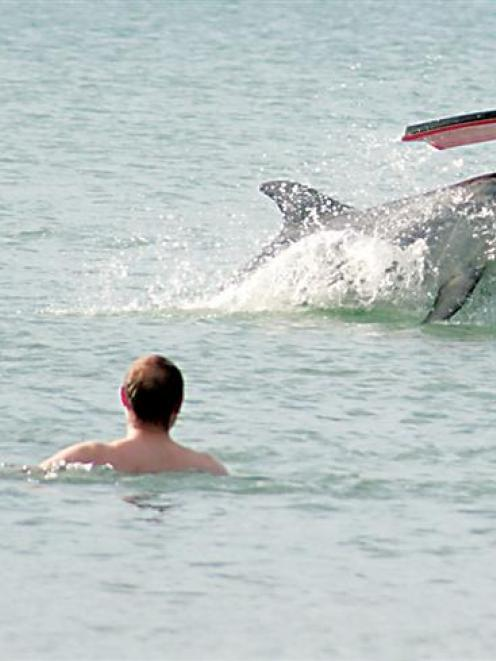 Visitors to Mahia are being asked to give Moko - the friendly bottlenose dolphin that has made...