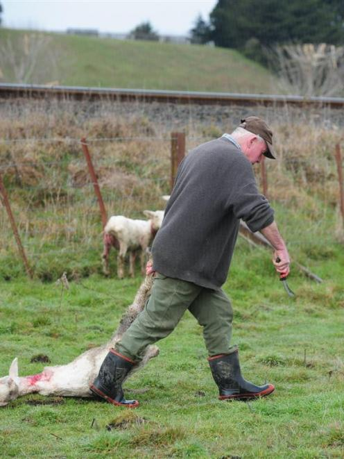 Waikouaiti farmer Paul Bartlett with what remains of his flock of 25 sheep after a similar attack...