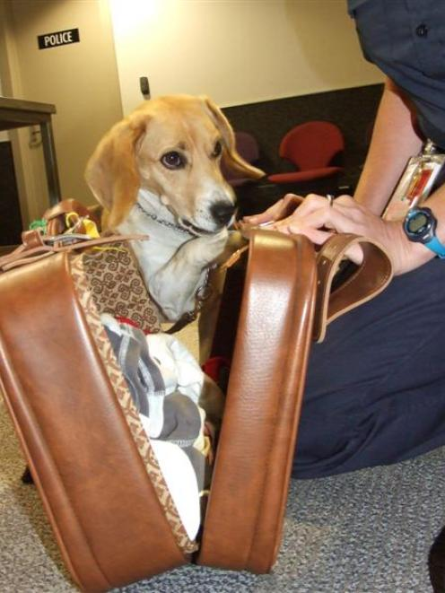 Zeta, a Ministry for Primary Industries employee, investigates the contents of  a suitcase. Photo...