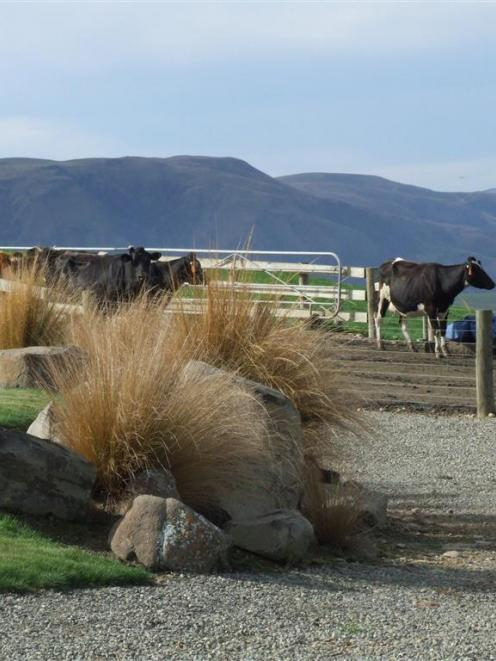 Cows leave one of Matt and Julie Ross' dairy sheds after milking. Photos by Sally Rae.