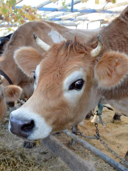 After a cow reacted positively to a bovine tuberculosis test in May, at the Port Chalmers farm...