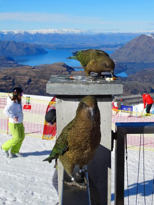 Kea check the menu at Treble Cone skifield's outdoor cafe yesterday. Photo by Mark Price.